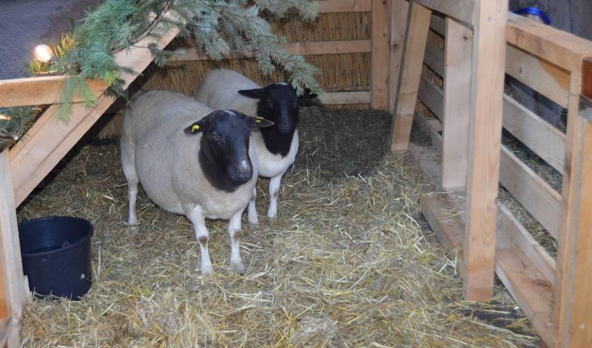 Schafe von Luca Müller